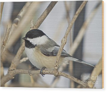 Chickadee-5 Wood Print by Robert Pearson