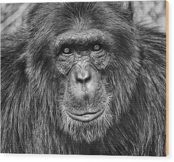 Chimpanzee Portrait 1 Wood Print by Richard Matthews