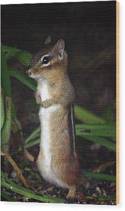 Chipmunk On Alert Wood Print by Karol Livote