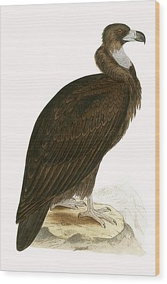 Cinereous Vulture Wood Print by English School