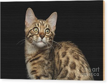 Closeup Bengal Kitty On Isolated Black Background Wood Print by Sergey Taran