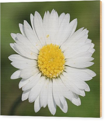 Closeup Of A Beautiful Yellow And White Daisy Flower Wood Print by Tracey Harrington-Simpson