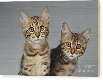 Closeup Portrait Of Two Bengal Kitten On White Background Wood Print by Sergey Taran