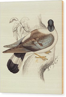 Columba Leuconota, Snow Pigeon Wood Print by Elizabeth Gould