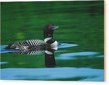 Common Loon In Water, Michigan, Usa Wood Print by Panoramic Images