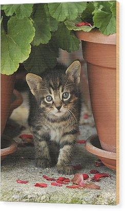 Croatian Kitten Wood Print by Don Wolf