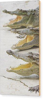 Crocodile Choir Wood Print by Jorgo Photography - Wall Art Gallery
