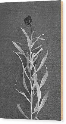 Dahlia Wood Print by Skip Hunt