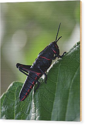 Eastern Lubber Grasshopper Wood Print by Richard Rizzo