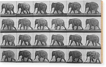 Elephant Walking Wood Print by Eadweard Muybridge