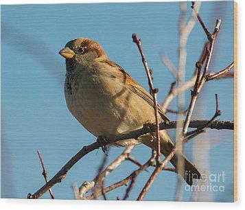 Female House Sparrow Wood Print by Mike Dawson