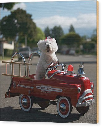 Fifi The Bichon Frise To The Rescue Wood Print by Michael Ledray