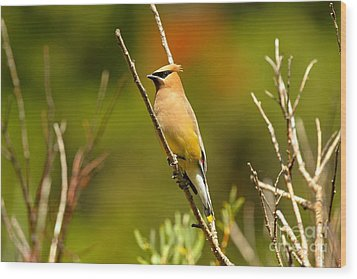 Fishercap Cedar Waxwing Wood Print by Adam Jewell
