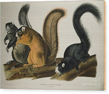 Fox Squirrel Wood Print by John James Audubon