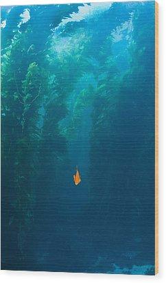 Garibaldi Fish In Giant Kelp Underwater Wood Print by James Forte
