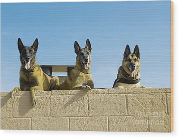 German Shephard Military Working Dogs Wood Print by Stocktrek Images