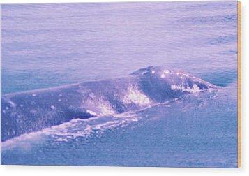 Gray Whale  Wood Print by Jeff Swan