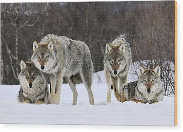 Gray Wolf Canis Lupus Group, Norway Wood Print by Jasper Doest