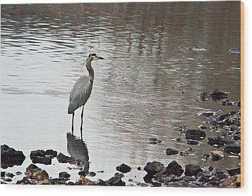 Great Blue Heron Wading 2 Wood Print by Douglas Barnett