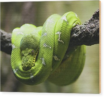 Green Tree Python Wood Print by Andy Wanderlust