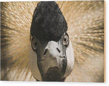 Grey Crowned Crane Wood Print by Chad Davis