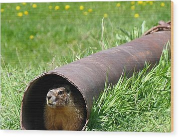 Groundhog In A Pipe Wood Print by Will Borden