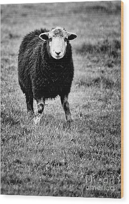 Herdwick Sheep Wood Print by Meirion Matthias