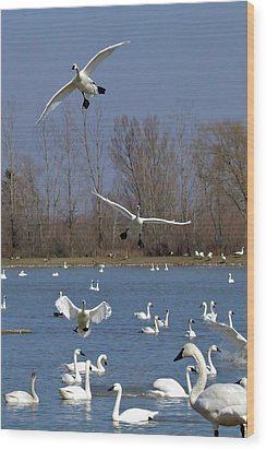 Here Come The Swans Wood Print by Bill Lindsay