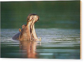 Hippopotamus Wood Print by Johan Swanepoel