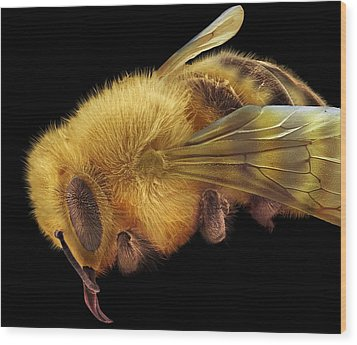 Honey Bee, Sem Wood Print by David Mccarthy