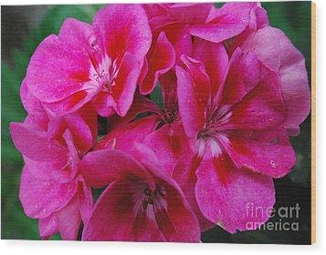 Hot Pink Geranium Wood Print by Sharen Duffing