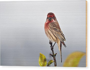 House Finch In Autumn Rain Wood Print by Laura Mountainspring