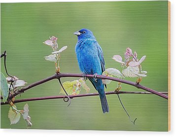 Indigo Bunting Perched Wood Print by Bill Wakeley