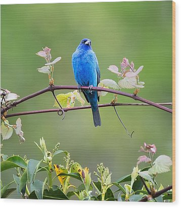 Indigo Bunting Perched Square Wood Print by Bill Wakeley