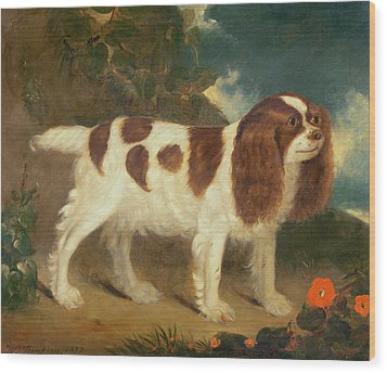 King Charles Spaniel Wood Print by William Thompson