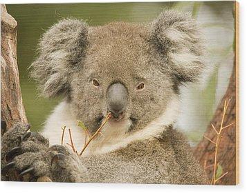 Koala Snack Wood Print by Mike  Dawson