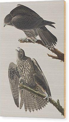 Labrador Falcon Wood Print by John James Audubon
