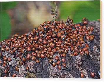 Ladybugs On Branch Wood Print by Garry Gay
