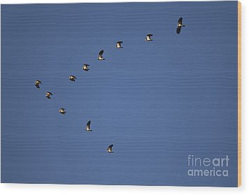 Lapwing Flock Wood Print by Per-Olov Eriksson