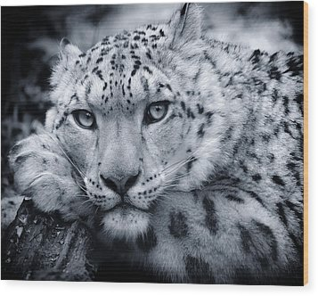 Large Snow Leopard Portrait Wood Print by Chris Boulton