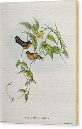 Leucippus Fallax Wood Print by John Gould