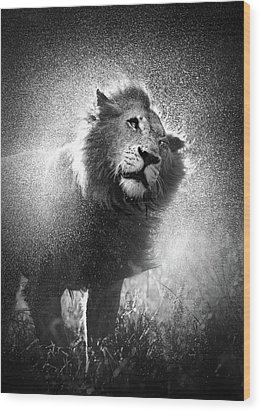 Lion Shaking Off Water Wood Print by Johan Swanepoel