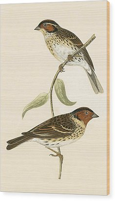 Little Bunting Wood Print by English School