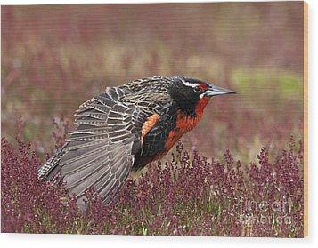 Long-tailed Meadowlark Wood Print by Jean-Louis Klein & Marie-Luce Hubert