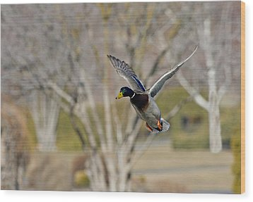 Mallard Approach Wood Print by Mike  Dawson