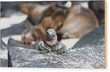 Marine Iguana Amongst The Sea Lions Wood Print by Robert Selin