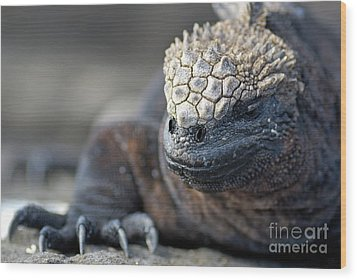Marine Iguana Wood Print by Sami Sarkis