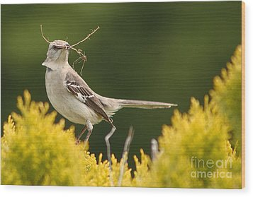 Mockingbird Perched With Nesting Material Wood Print by Max Allen
