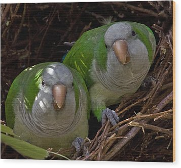 Monk Parakeet Pair Wood Print by Larry Linton
