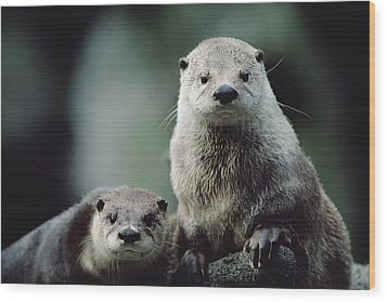 North American River Otter Lontra Wood Print by Gerry Ellis